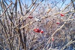 Ramo coberto de neve com um viburnum vermelho da baga coberto com a geada imagem de stock