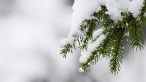 Ramo coberto de neve delicadamente de balanço do abeto, queda de neve gelada vídeos de arquivo