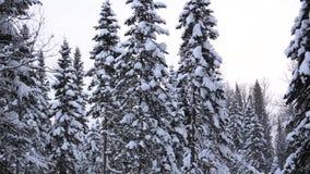 Ramo coberto de neve do abeto no parque do inverno em um fundo do céu azul vídeos de arquivo