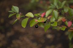 Ramo colorido bonito do cotoneaster brilhante Foto de Stock