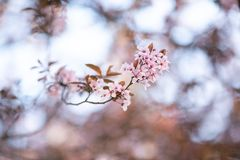 Ramo com as flores de florescência de sakura no sol imagens de stock royalty free