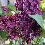 Ramo com as flores lil?s da mola bonita imagem de stock