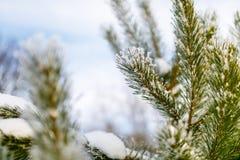 Ramo conífero coberto no close-up minúsculo do floco de neve imagens de stock royalty free