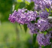 Ramo con i fiori lilla della molla porpora rosa natura, botanica immagini stock