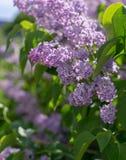 Ramo con i fiori lilla della molla porpora rosa natura, botanica fotografie stock libere da diritti