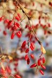 Ramo con le bacche mature, Russia del crespino Fotografie Stock