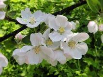 Ramo con le fioriture bianche, Lituania di melo Fotografie Stock Libere da Diritti