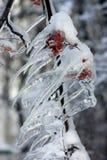 Ramo congelado da cinza de montanha Imagens de Stock