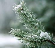 Ramo congelado das espinhas do pinheiro cobertas com a floresta da geada na manhã nevoenta do inverno fotos de stock