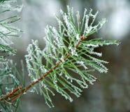 Ramo congelado das espinhas do pinheiro cobertas com a floresta da geada na manhã nevoenta do inverno imagem de stock