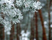 Ramo congelado das espinhas do pinheiro cobertas com a floresta da geada na manhã nevoenta do inverno foto de stock