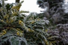 Ramo congelato con le punte del ghiaccio Fotografie Stock Libere da Diritti
