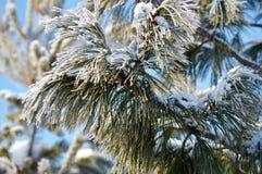 Ramo congelato dell'abete rosso di inverno Fotografie Stock Libere da Diritti