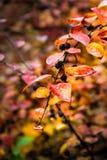 Ramo coperto di bacche della ciliegia di uccello nella foresta di autunno Immagine Stock Libera da Diritti