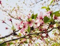 Ramo cor-de-rosa da flor de cerejeira com licença verde fotos de stock royalty free