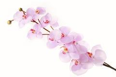 Ramo cor-de-rosa da flor de cerejeira Imagens de Stock Royalty Free