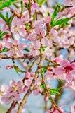 ramo cor-de-rosa de floresc?ncia do p?ssego das flores na mola no jardim contra o c?u azul fotografia de stock royalty free