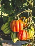 Ramo crescente crescente dos tomates do coração do boi no jardim fotos de stock royalty free