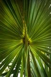 Ramo d'ardore della palma Fotografia Stock