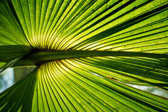 Ramo d'ardore della palma Fotografie Stock Libere da Diritti