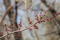 Ramo da árvore de abricó com botões cor-de-rosa Fotos de Stock Royalty Free