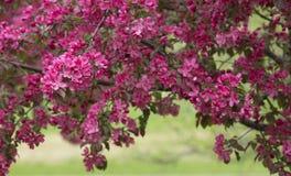 Ramo da árvore de Apple de florescência 02 Foto de Stock Royalty Free
