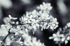 Ramo da árvore de cereja do pássaro no fundo verde Fundo preto e branco Floresce a cereja de pássaro imagem de stock