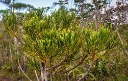 Ramo da árvore de cipreste verde Textura do fundo Fotografia de Stock