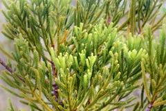 Ramo da árvore de cipreste verde Textura do fundo Imagens de Stock