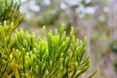 Ramo da árvore de cipreste verde Textura do fundo Imagens de Stock Royalty Free