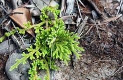 Ramo da árvore de cipreste verde Textura do fundo Imagem de Stock