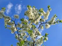 Ramo da árvore de florescência Fotografia de Stock