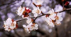 Ramo da árvore de fruto com flores brancas, spring_ adiantado Fotografia de Stock Royalty Free