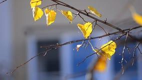 Ramo da árvore de Linden no outono video estoque