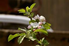 Ramo da árvore de maçã com flores brancas fotografia de stock