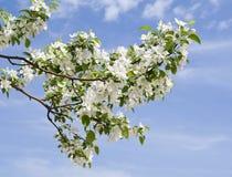 Ramo da árvore de maçã com muitas flores fotografia de stock royalty free