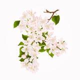 Ramo da árvore de maçã com vetor do fundo da mola da tração da mão do vintage das flores Imagens de Stock