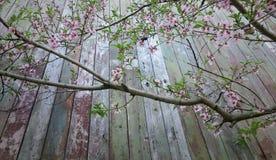 Ramo da árvore de pêssego com as flores no fundo de placas idosas Fotografia de Stock