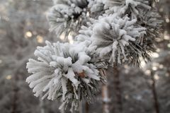 Ramo da árvore na neve fotografia de stock royalty free
