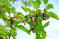 Ramo da amoreira madura Bagas na árvore Fotografia de Stock Royalty Free