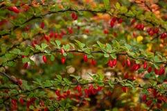 Ramo da bérberis com folhas verdes foto de stock