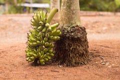 Ramo da banana por uma árvore Imagem de Stock Royalty Free