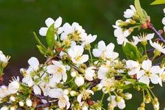 Ramo da cereja de florescência contra o céu azul Imagens de Stock