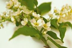 Ramo da cereja de pássaro no fundo branco, nas folhas verdes e nas flores brancas fotografia de stock royalty free