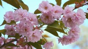 Ramo da cereja japonesa Cena bonita da natureza com a árvore de florescência de sakura video estoque