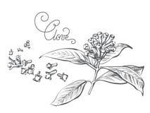 Ramo da especiaria do cravo-da-índia, folha, flor, botão Imagens de Stock