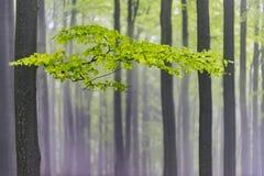 Ramo da faia com folhas Imagem de Stock