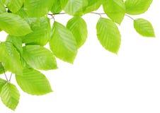 Ramo da faia da mola com folhas verdes Imagem de Stock Royalty Free