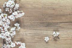 Ramo da flor da árvore de abricó no fundo de madeira com cópia s Imagens de Stock Royalty Free