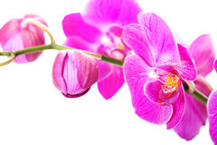 Ramo da flor da orquídea Imagens de Stock